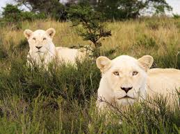 white lions south africa