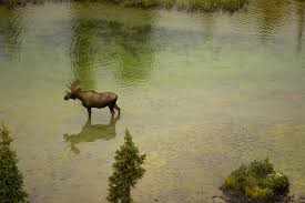 free picture bull moose stands birch tree