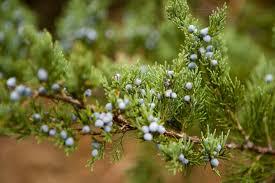 eastern cedar tree species overview