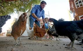 Backyard Chicken Blogs by Council Approves Rules For Backyard Chickens And Gardens Local