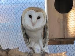 What Does A Barn Owl Look Like Barn Owls Big Bear Alpine Zoo