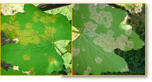 frost or fungi how will your grape leaves meet their post harvest