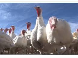fulton farm sells local thanksgiving turkeys columbia md patch