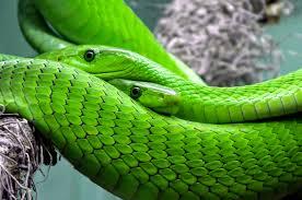 Green Snake Wallpaper Background Hd Wallpaper Background