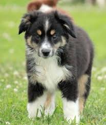australian shepherd with german shepherd german australian shepherd with gray fur with tan and white
