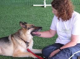 belgian shepherd vancouver fans of dog sport treibball ask u0027who needs sheep u0027 the columbian
