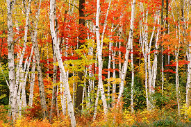 New Hampshire forest images Shelburne birch forest photo photograph new hampshire jpg