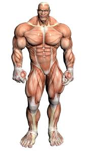 Anatomy And Physiology The Muscular System Muscular System Muscular Anatomy Via Pincg Com Anatomy