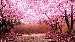 cherry blossom tree desktop background hd 1920x1080 deskbg com