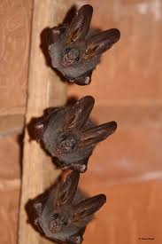 190 best bats images on pinterest bats taxidermy and animals