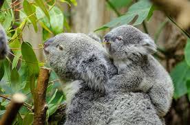 koala fun facts kids u2013 australian animals u2013 animal facts