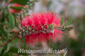 best australian native hedge plants creating sustainable windbreaks native plant and revegetation