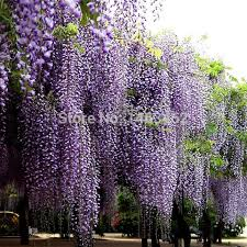 online get cheap purple wisteria aliexpress com alibaba group