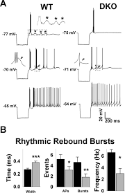 ablation of kv3 1 and kv3 3 potassium channels disrupts