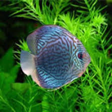 Buy Ornamental Fish Ornamental Fish Buy In Chennai