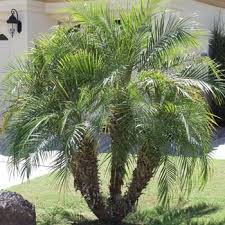 palm trees palm tree nursery palm trees for sale mesa gilbert