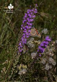 native texas plants butterfly and moth viewer pictures central texas gardener