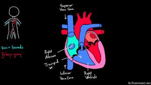 External Heart Anatomy The Heart Is A Double Pump Article Khan Academy