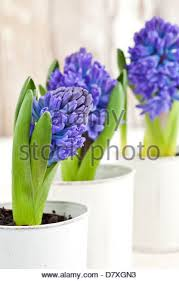 Hyacinth Flower Portrait Shot Of Blue And Purple Hyacinth Flowers In A White Pot