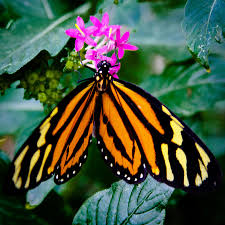 the tiger butterfly photograph by david patterson
