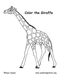 animal kingdom giraffe colouring 17 images millie