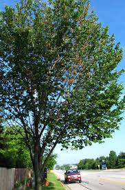 Green Vase Japanese Zelkova Dutch Elm Disease The P U0026pdl Picture Of The Week Plant U0026 Pest