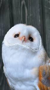 The Barn Owl Carol Stream 12743530 1028035920591284 588354555303855348 N Jpg 540 960