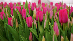 tulips flowers pink tulips flowers growing ornamental and flowers for landscape
