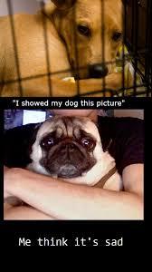 Sad Pug Meme - i showed my dog this picture me think it s sad pug picture