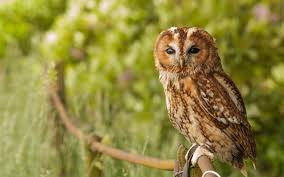 owl bird seating on tree branch hd images