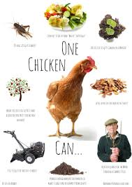 8 ways to use chickens in the garden gardens homesteads and farming