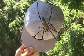 Explorer finds huge orb spider the size of his baseball cap in     Mirror Spider  That     s no decoration on his hat