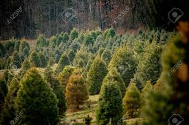 christmas tree farm with many pine trees of different shapes