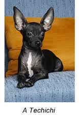 te chichi chihuahua dog history their ancient in laws
