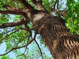consider a tree s canopy a source of comfort unafraid trusting god