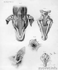 Dog Anatomy Front Leg 43 Best Animal Anatomy Images On Pinterest Animal Anatomy Dog