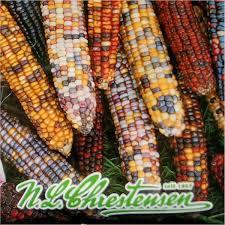 zea mays amero ornamental corn
