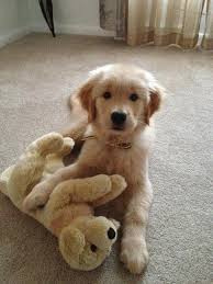 Comfort Retrievers 60 Times Golden Retrievers Were So Adorable You Wanted To Cry