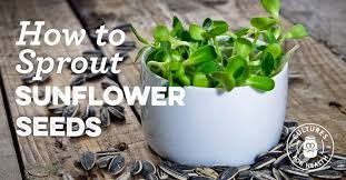 how to sprout sunflower seeds cultures for health