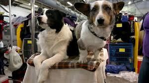 affenpinscher breeders texas banana joe u0027s westminster dog show win set off a frenzy for
