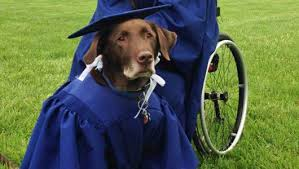 dog graduation cap and gown service dog wears cap and gown at graduation mnn nature
