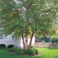fast growing ornamental trees arbor trees