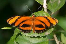 banded orange heliconian dryadula phaetusa also as flickr