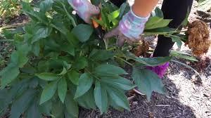 peony not growing minnesota grown peonies for sale countryside