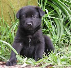 australian shepherd lab mix for sale 9 cute german shepherd labrador mix puppies saveourpuppy com