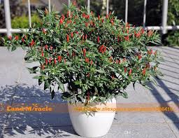 2017 ornamental capsicum mini pepper seeds 100 seeds pack