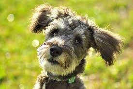 afghan hound poodle cross schnoodle dog breed information pictures characteristics u0026 facts