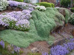 wooly thyme edible creeping ground cover yard and patio