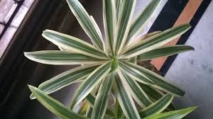 diagnosis song of india dracaena reflexa getting yellow brown