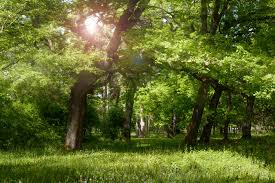 sun rays between the trees background high quality free backgrounds